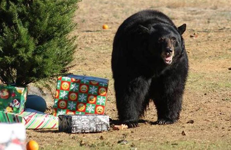 christmas fundraiser at lions tigers and bears sanctuary california th