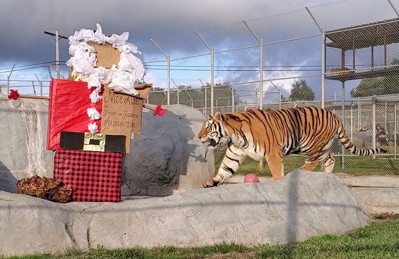 Christmas with the Animals at Lions Tigers & Bears Sanctuary, California