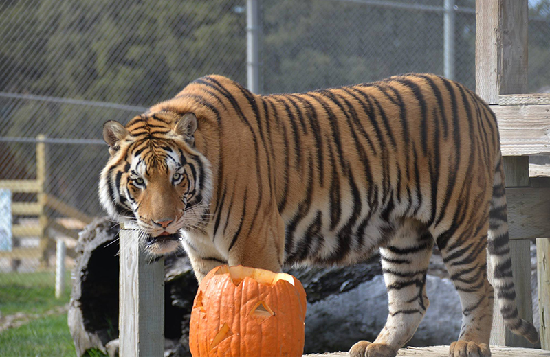 Spooky Camp Over at Lions Tigers & Bears Sanctuary, Alpine
