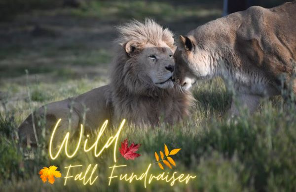 wild fall fundraiser lions tigers and bears