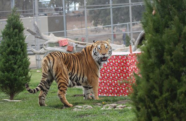 holiday open house lions tigers and bears