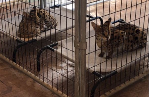 serval rescue junior and miss kitty