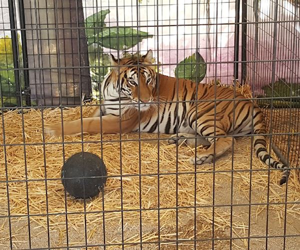 Antelope Valley Fair tiger