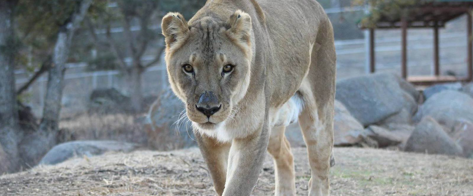 No Place Like Home at Lions Tigers & Bears Sanctuary, Alpine