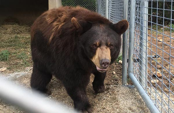 Cross-Country Multi-Bear Rescue