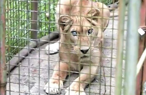 Exotic Animal Rescues in San Diego | Lions Tigers & Bears