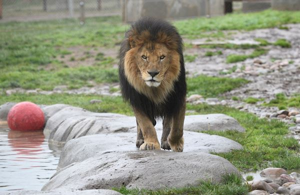 Fundraise for Lions Tigers and Bears at California Sanctuary